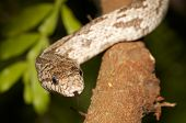 White Oak Rat Snake