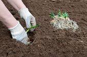 Processo de plantação de cebola