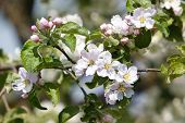 Blumen-Apfelbaum