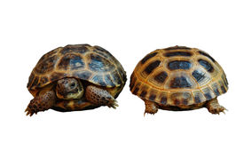 foto of russian tortoise  - front and back of two Russian  - JPG