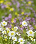 Daisy flowers (selective DOF)