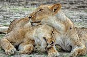 Pride-family Pack Of Lions. Pride Of Lions On Rest. The African Lion (lat. Panthera Leo). Male Lions poster