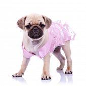 curious pug puppy dog wearing pink dress, standing on white background. curious little mops princess