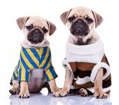 two cute dressed pug puppy dogs sitting on white background. curious looking mops puppies wearing co