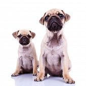 pair of pug puppy dogs sitting on white background. cute and curious couple of mops puppies looking