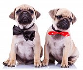 lady and gentleman pug puppy dogs sitting on white background. cute pair of mops puppies wearing nic