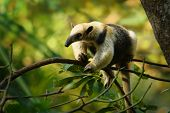 Northern Tamandua - Tamandua Mexicana Species Of Anteater, Tropical And Subtropical Forests From Sou poster