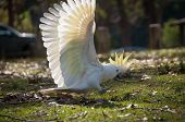 Wild Sulphur-crested Cockatoo Striding On The Ground With Its White Wings In Full Wingspan, Bright Y poster