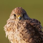 Kestrel portrait/Common Kastrel / Falco tinnunculus