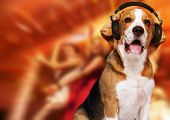 Beagle dog wearing headphones over disco background.