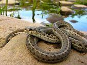 Garter Snake Basking