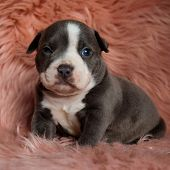 Tired Amstaff puppy sitting with its mouth closed while sleepy looking forward on furry pink backgro poster