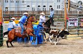 BOULDER - AUGUST 27th: unidentified cowboys in calf roping competition at Jefferson County Fair and