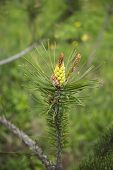 Pine Tree. Flowering Pines. Young Shoots Of Pine. Branches Of The Tree. Macro. poster