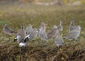Mexican Godwits resting in a mangrove