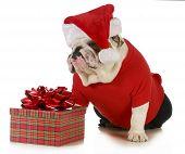santa dog - english bulldog dressed like santa sitting beside christmas present