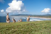 image of kangaroo  - This image shows Kangaroos in Emerald Beach Australia - JPG