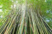 image of royal botanic gardens  - This image shows bamboo within Sydney - JPG
