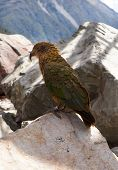 Green Kea bird/parrot New Zealand
