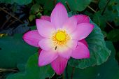 Pink lotus flower and bee flying over