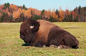 Bison also known as an American  Buffalo Lying Down