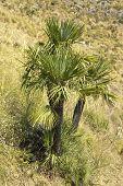 Chamaerops humilis wild plant: Zingaro natural reserve, Sicily