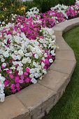 Petunias On The Flower Bed