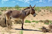 Wild donkey in the dessert
