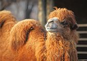 Постер, плакат: Camel in zoo