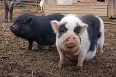 stock photo of pot bellied pig  - Two pot bellied pigs who seem to be enjoying the mud in the wet barnyard - JPG