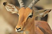 Impala - Wildlife Background from Africa - Grin of the Beautiful