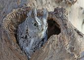 Screech Owl, Gray Phase