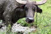 stock photo of carabao  - The carabao  - JPG