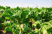 picture of rutabaga  - Sugar beets with green beetroot leave growing in field - JPG