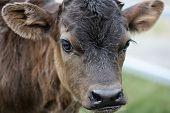 A week old shorthorn cross calf.
