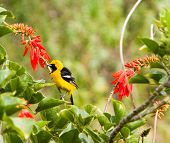 Bright Yeloow Hooded Oriole Perched On Orange Coral Tree Blooms
