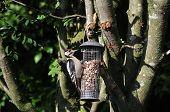 Juvenile Male Juvenile Woodpecker Feeding On Peanuts.