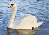 Single White Swan On The Water