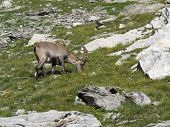 Young Alpine Ibex Grazing