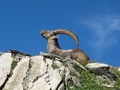Lying Alpine Ibex Scratching His Back