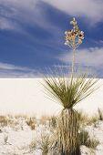 Soap Tree Yucca