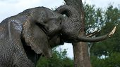Elephant rubbing a tree after a mud bath.