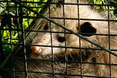 stock photo of possum  - a possum cought in a live animal trap curled up wanting to get out - JPG