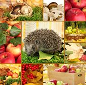 Autumn collage of apples, mushrooms and hedgehog