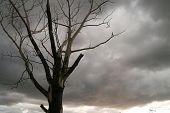 Tree, Poplar burned gray sky.