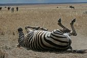 Zebra On Plains Of Serengeti Rolling In Dust