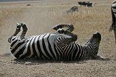 Zebra Behavior