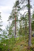 Coastal Pine Forest In Karelia, Finland