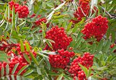 Wet Rowan Tree With Bright Red Berries