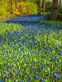 Blue Grape Hyacinths In Spring Woodland